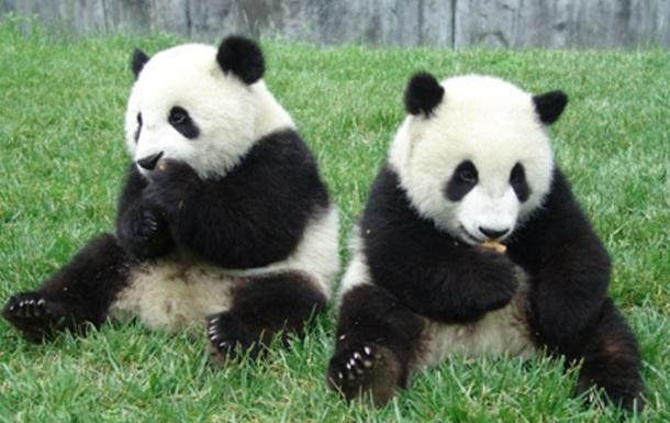 Випущених на волю панд показали на відео