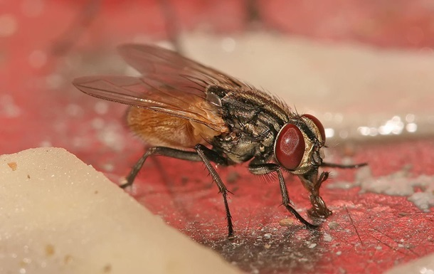 Вчені пояснили, в чому небезпека мух для людини