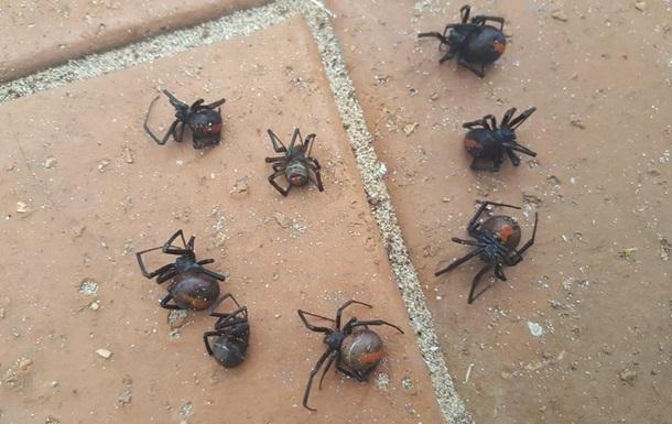 Дощ  зі смертоносних павуків налякав австралійку