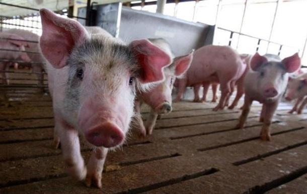 У двох областях України зафіксовані спалахи чуми свиней