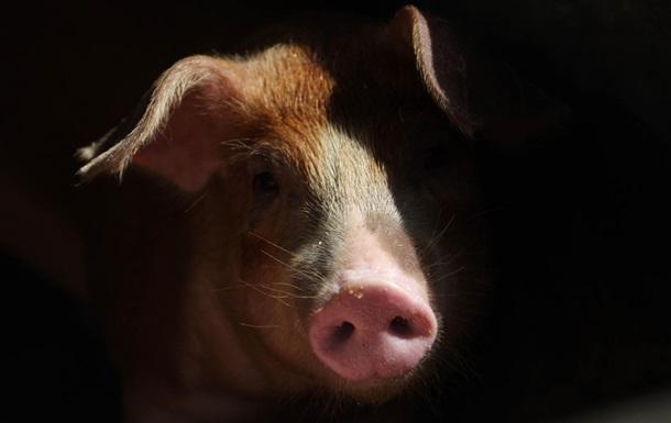 Спалах чуми свиней зафіксували в Харківській області
