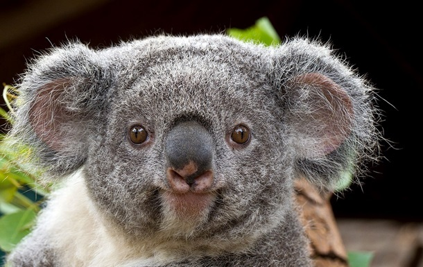 Всети интернет восхитились потасовкой 2-х коал среди шоссе вАвстралии