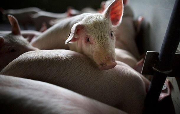 У Київській області зафіксували спалах чуми у свиней