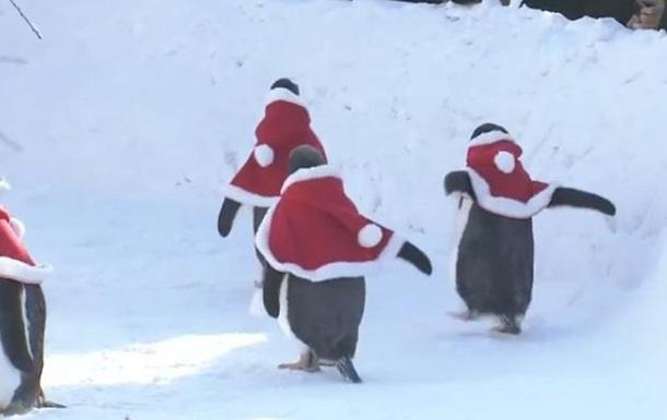 У зоопарку Китаю пінгвінів вдягли Санта-Клаусами