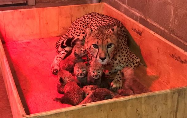У США народилася рекордна кількість дитинчат гепарда