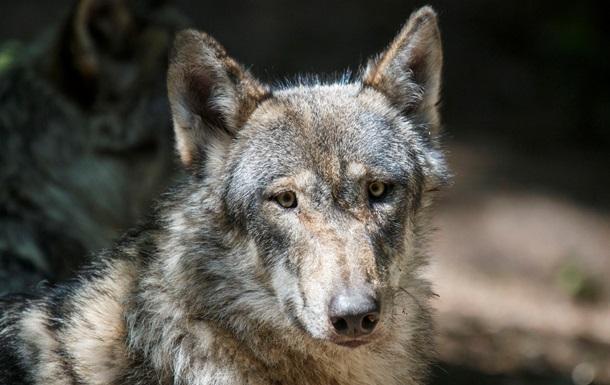 Днепропетровщину наводнили волки из Донбасса