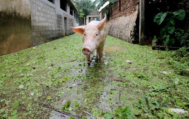 В Черновицкой области зафиксировали вспышку чумы у свиней