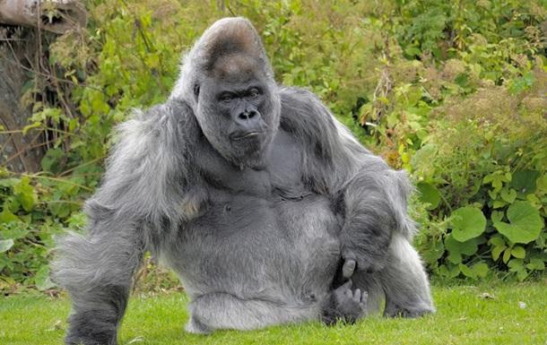 У британському зоопарку померла одна з найстаріших горил світу