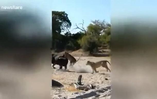 Схватку буйвола со львами сняли на видео