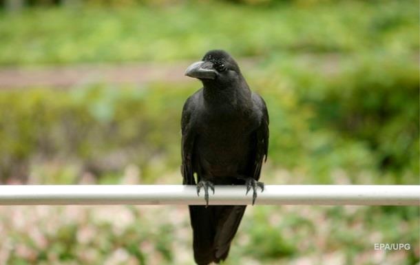 В США ворона  вмешалась  в прогноз погоды