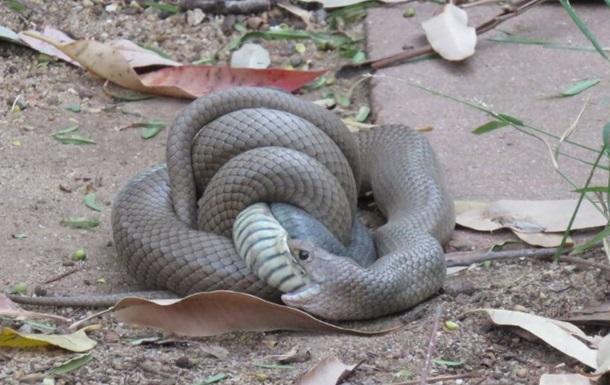 Драку змей с поеданием побежденного сняли на видео