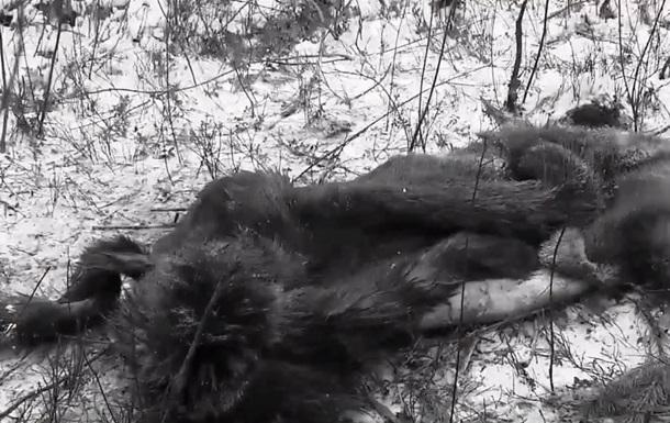Під Києвом браконьєри застрелили вагітну самку лося
