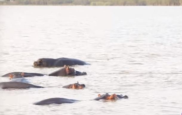 Стадо бегемотов отогнало тупорылую акулу