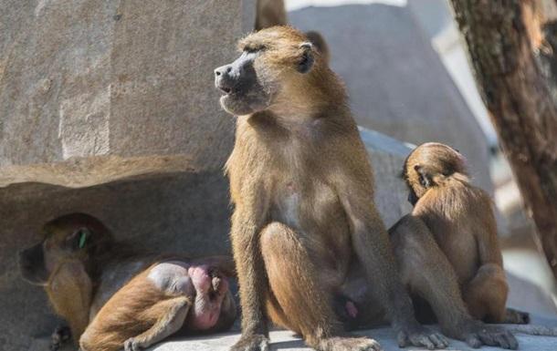 В зоопарке Парижа из вольера сбежали 52 бабуина
