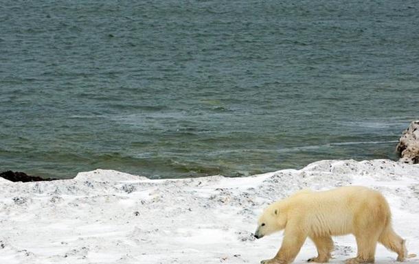 Дослідження: Білі ведмеді голодують через глобальне потепління