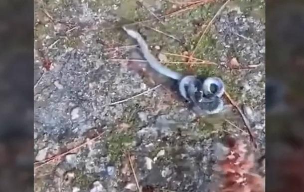 У Мережі показали відео з двоголовою змією