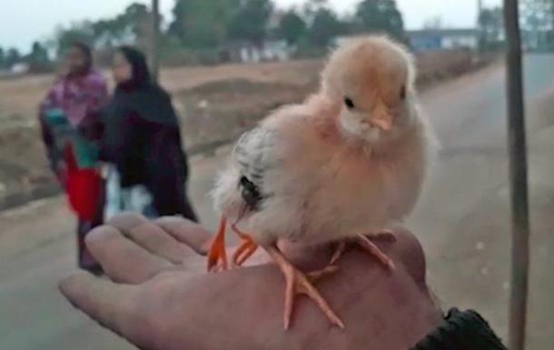 Цыпленок с четырьмя лапами родился в Индии