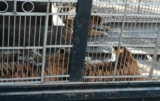 В Гватемале цирковые тигры оторвали смотрителю руки