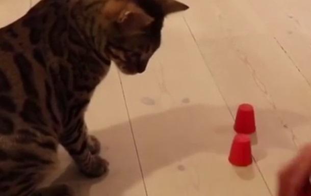 У Мережі показали кота, що грає в  стаканчики