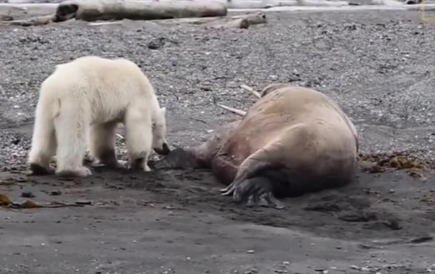 Стычку белой медведицы и моржа показали на видео