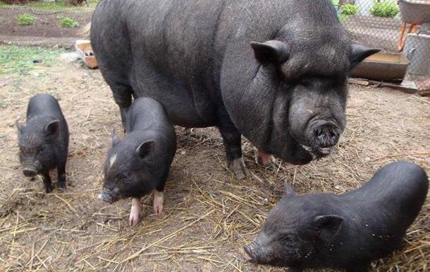 ВНиколаевской области свиньи съели пенсионера