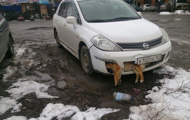 В РФ депутат несколько дней ездил с мертвой собакой в бампере