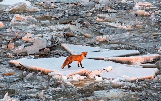 У Житомирській області скажені лисиці нападають на людей