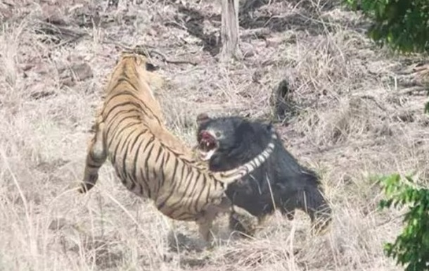 В Індії зняли на відео сутичку ведмедя з тигром