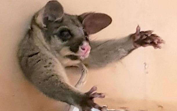Застряглого в стіні опосума рятували півгодини