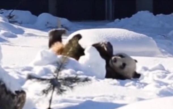 У Фінляндії показали двох китайських панд