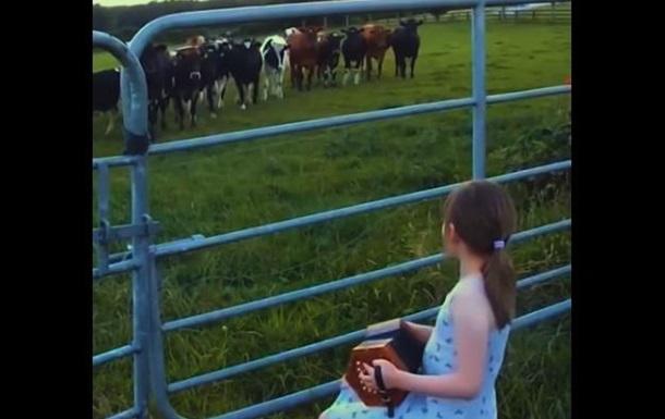 Стадо коров-меломанов сняли на видео