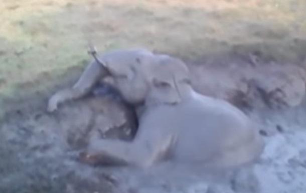 Спасение упавшего в яму слоненка сняли на видео