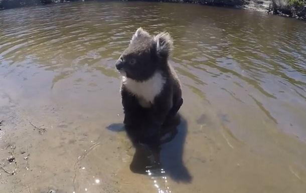 Коалу, що пливе в річці, зняли на відео