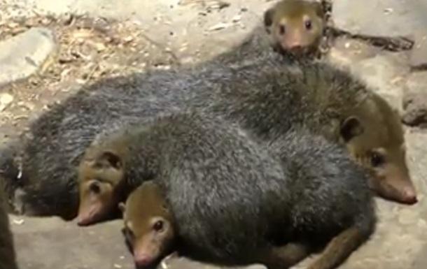 У зоопарку Києва оселилися кузіманзи