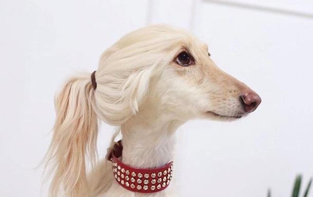 Мережу здивував собака-двійник Іванки Трамп
