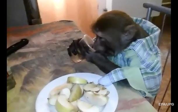 Сеть удивила пьющая водку залпом обезьяна