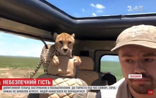 В Танзании к туристам в авто запрыгнули гепарды