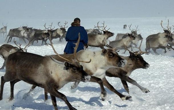 В России от голода погибла тысяча оленей