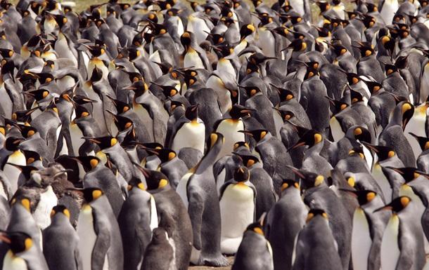 Колонії пінгвінів схожі на двовимірну рідину - біологи