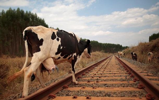 У Росії потяг протаранив стадо корів