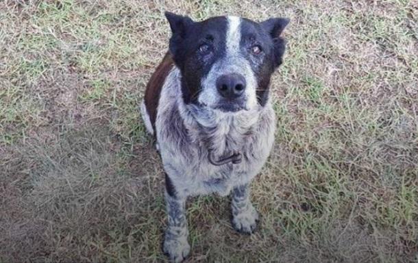 В Австралії старий пес врятував трирічну дівчинку