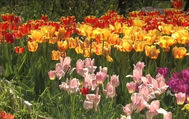 Жительница Николаева высадила тысячи тюльпанов во дворе