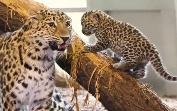 В зоопарке Вены родились малыши редкого леопарда