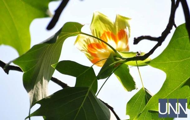 В Ужгороді зацвіло тюльпанове дерево