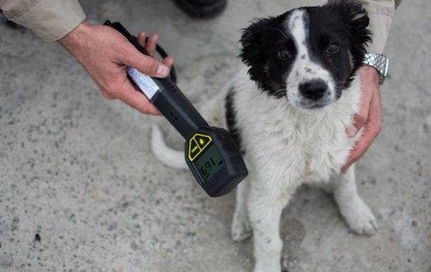 Из Чернобыля в США вывезут 200 бездомных щенков