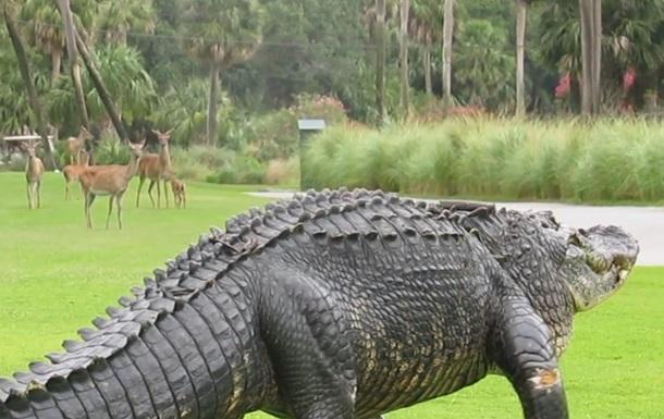 Прогулянку гігантського алігатора зняли на відео