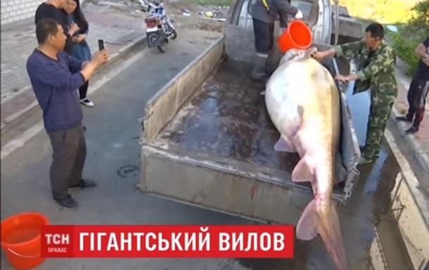 В Китае рыбак поймал гигантскую рыбу калугу