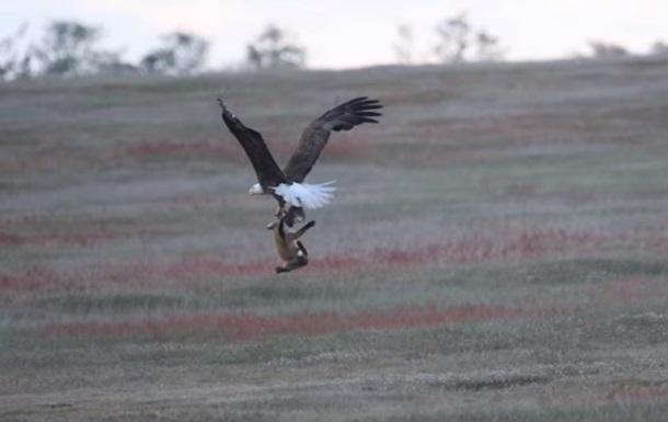 В США сняли на видео схватку орлана и лисы