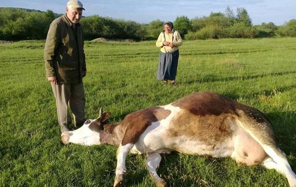 На Прикарпатье массовое отравление коров