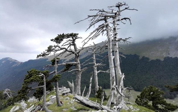 В Италии найдено старейшее дерево Европы